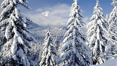 Snowy Trees Wallpapers Nature
