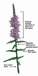 Purple Loosestrife Guide - Ipm
