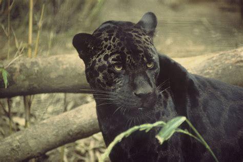 Black Jaguar Habitat by Top 10 Facts About Jaguars Rainforest Cruises