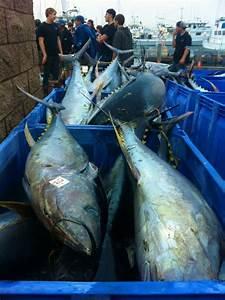 Yellowfin Tuna Record