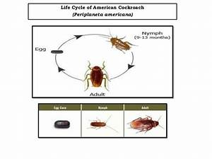 Types of Cockroaches and there Attributes
