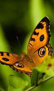 Butterfly Wallpaper For Android | PixelsTalk.Net