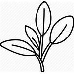 Sage Herb Icon Leaves Fresh Garden Common