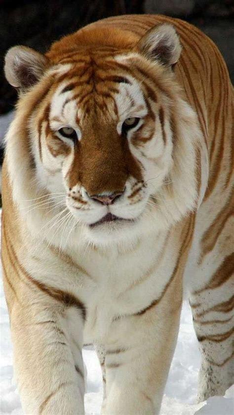 Snow White Tiger Amazing World Fabulous Gorgeous