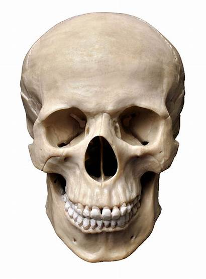 Skull Transparent Skeleton Human Homo Sapiens Bone