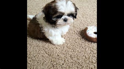 meet   puppy junior  weeks  shih tzu youtube