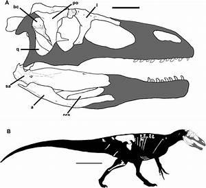 Megaraptora