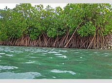 Mangrove plantations at risk from rice and palm oil