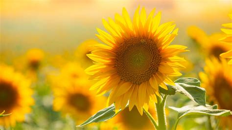 blumen ziehen leicht gemacht sonnenblumen selbst