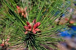 Types of Gymnosperm Plants - Biology Wise