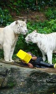 The death of Winnie, the white tiger: 5 things to know ...