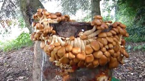 Nameko  Zucht Auf Holzstamm (1 Fruchtung) Youtube