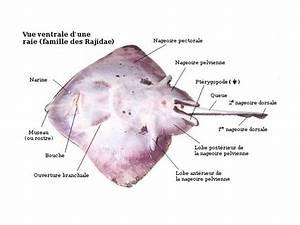 Manta Ray Ventral Diagram