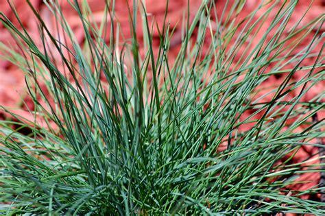 grow  care  blue fescue grass