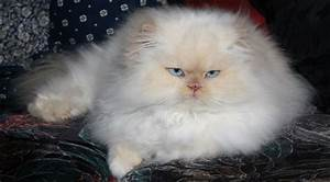 Grooming Is Essential For Long Haired Cats  U2013 Celia Haddon