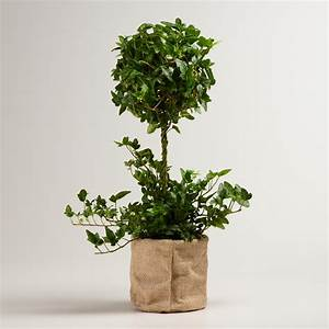 Live Ivy Topiary Plant in Burlap World Market