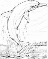 Dolphin Coloring Dolphins Printable Colouring Adults Animals Ocean Realistic Happy sketch template