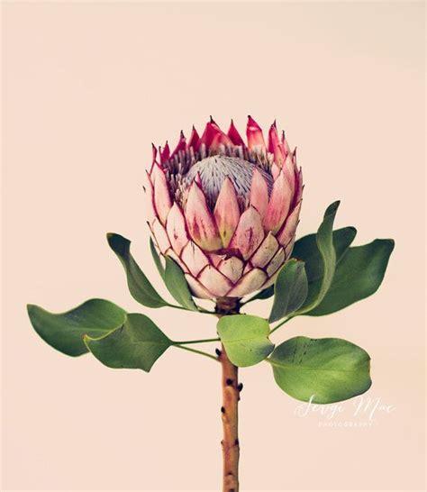 witte protea bloemen original fine art photograph king protea flower art