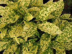 Arbuste À Feuillage Persistant : p pini res genetay aucuba japonica 39 crotonifolia 39 c 3 ~ Melissatoandfro.com Idées de Décoration