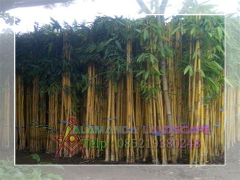 tanaman pagar tanaman hias bambu kuningbambu panda