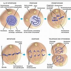 Stages Of The Cell Cycle  Mitosis (metaphase, Anaphase And Telophase) Owlcation