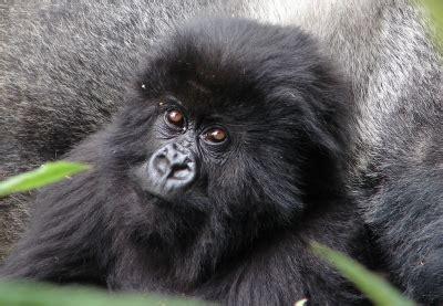 Western Lowland Gorilla Troop