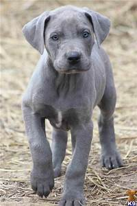 Blue Great Dane Puppy | Blue Great Dane | Pinterest