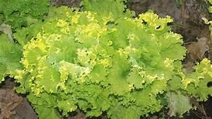 Was Kann Man In Ein Gewächshaus Pflanzen : endiviensalat pflanzen so klappt der anbau ~ Lizthompson.info Haus und Dekorationen