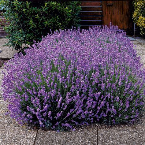 duft lavendel blauviolett  kaufen bei ahrenssieberz