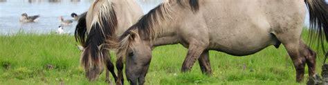 Les chevaux sauvages du lac d'Engures - La Carapate