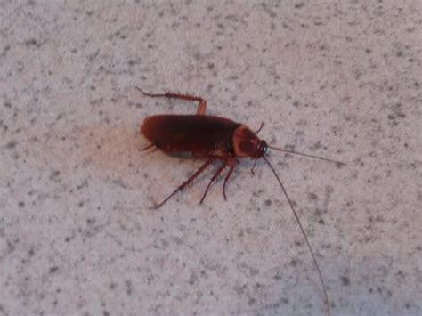 gros insecte trouvé dans le tiroir de la cuisine picture