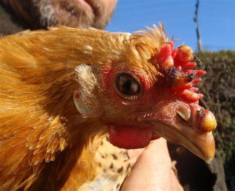 Backyard Chickens Forum by Injured Comb And Beak Infection