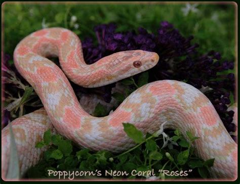 corn snake colors coral cornsnake snakes beautiful colors