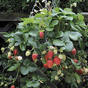 hanging basket Strawberry Elan plants |Strawberry Elan |DT ...
