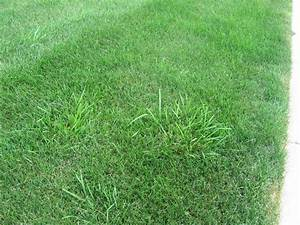 Perennial Ryegrass Vs Tall Fescue | www.pixshark.com ...