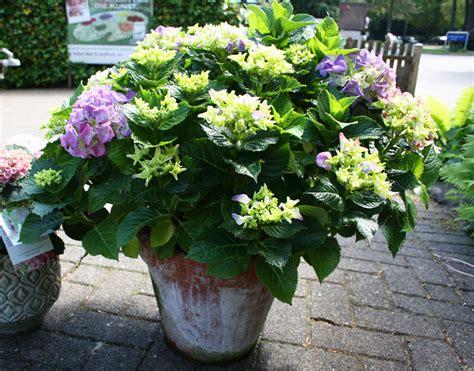 Violett Blühende Hortensie, Robuste Mehrjährige Pflanze