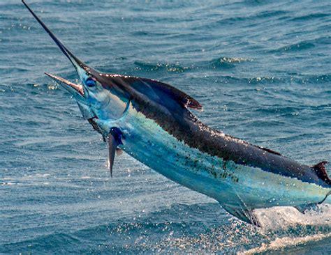 marlin fish classic florida beach fishing bill resort macromonday revealed location trivia destin facts did much favorite read right into
