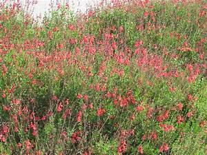 perennial red salvia (greggii) | HOME: Outside Back Yard ...