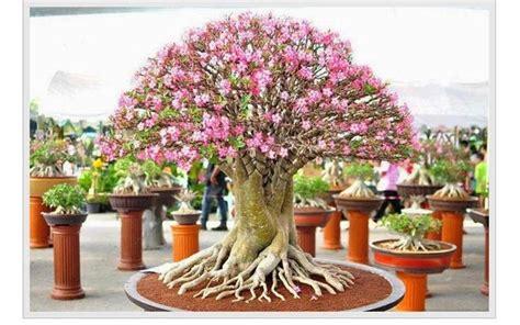 gambar merawat bunga kamboja jepang hias pot bunga