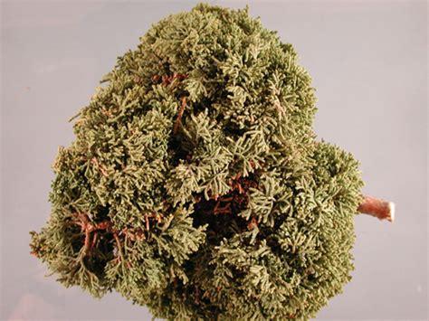 juniper juniperus spp witches broom pacific