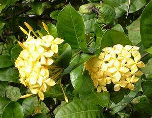 File:Ixora coccinea, yellow.jpg - Wikimedia Commons