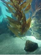 as giant kelp or giant bladder kelp is a species of kelp large brown  Brown Algae Kelp