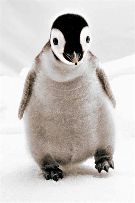 cutest baby penguins    world