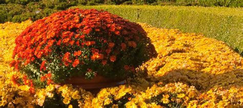 can fall mums survive frost chrysanthemums chicago botanic garden