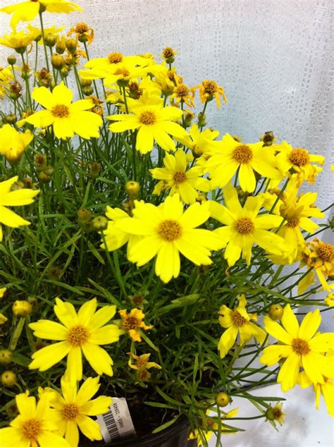 coreopsis quot citrine quot hearty perennial height 5 inches