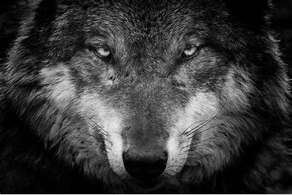 Wolves Glance Snout Animals Wolf Staring 1280