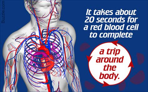 Circulatory System Diseases And Disorders You Ought To