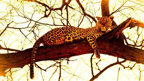 wallpaper leopard  animals