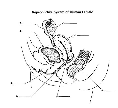 female reproductive system diagram printable diagram