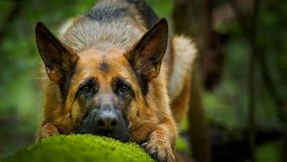 Shepherd German Dog Wallpapers Face Background Dogs